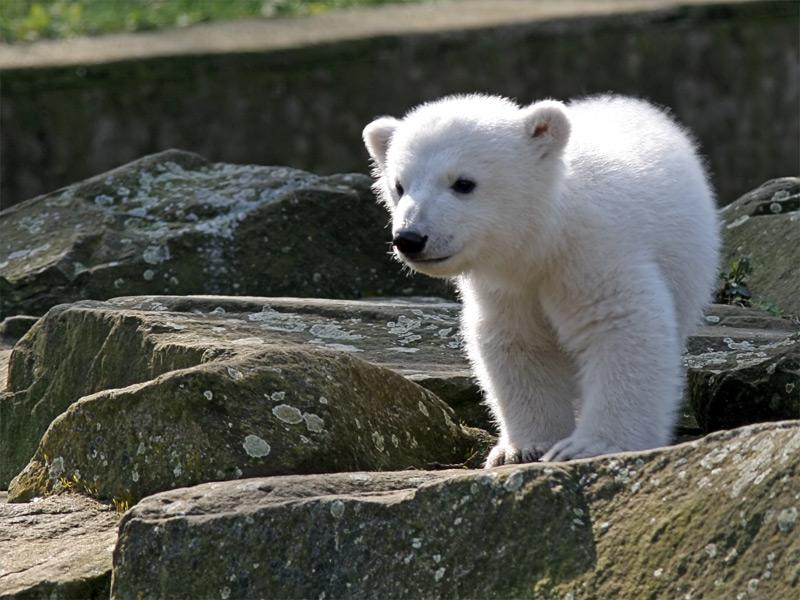 Рануа зоопарк, медведи
